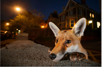 A red fox peeks over the sidewalk in Bristol, England. (Sam Hobson/Wildlife Photographer of the Year)