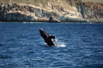 Breaching Young Humpback Whale near Socorro Island, The Revillagigedos Archipelago