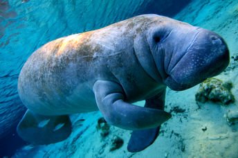 Endangered manatee in Florida's coastal waters