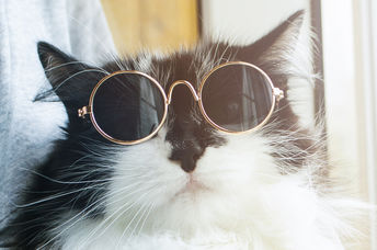 A fluffy cat proudly wears sunglasses.