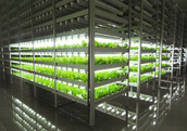 Lettuce growing under LED lighting in a Mirai factory