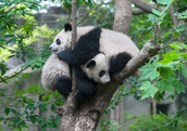 Two pandas hugging in a tree
