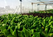 The urban farm yields 10,000 units of greens per month, year-round. (Green in the City)