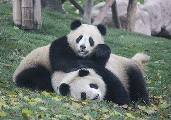 Giant pandas are no longer endangered and their population is actually on the rise. (Shutterstock)