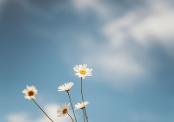 Daisies stand in the grass against a backdrop of a blue heaven with clouds