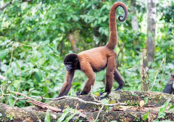 Woolly monkey in the Amazon rain forest near Iquitos, Peru