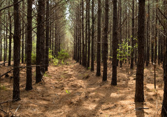 IKEA pine forest in southeast Georgia.