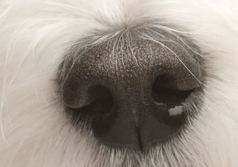 A dog's nose to illustrate the sense of smell