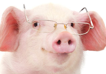 A cute micro pig wearing glasses looks very intelligent!
