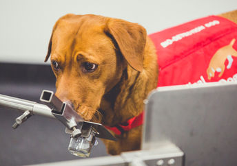 Disease detection dog sniffing for prostate cancer.
