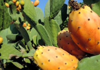 The cactus pair may become a new superfood crop.