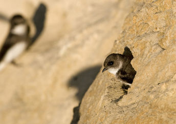 Sand martin swallows nesting