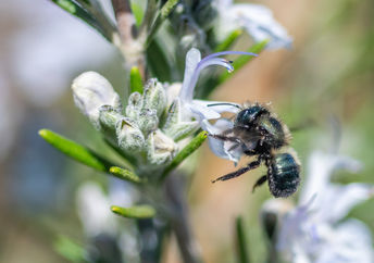 A native bee pollinating a flower.
