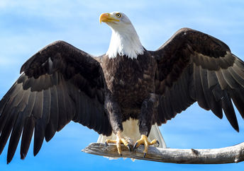American bald eagle population is coming back.