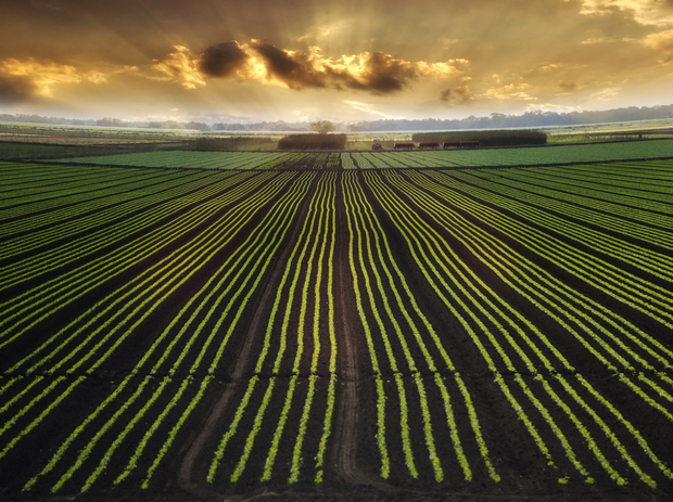 A field of crops at dusk