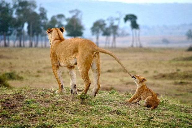 Cutest lion in the world - photo#31