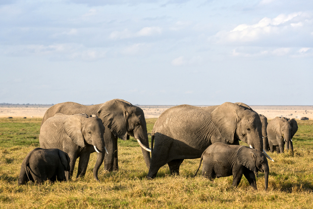 A group of African elephants