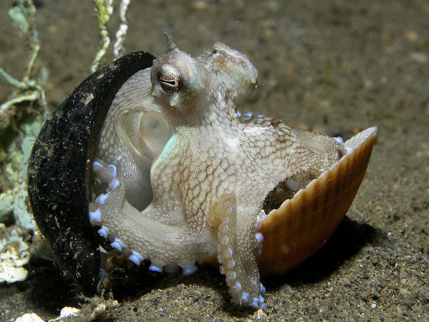 A veined octupus using a nut shell and clam shell as shelter