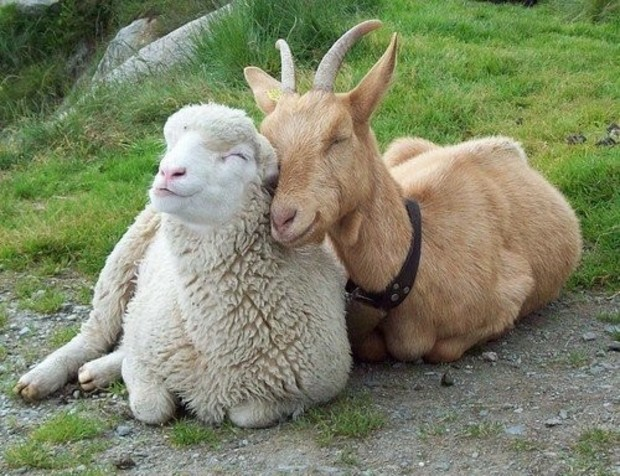 Sheep and goat smiling