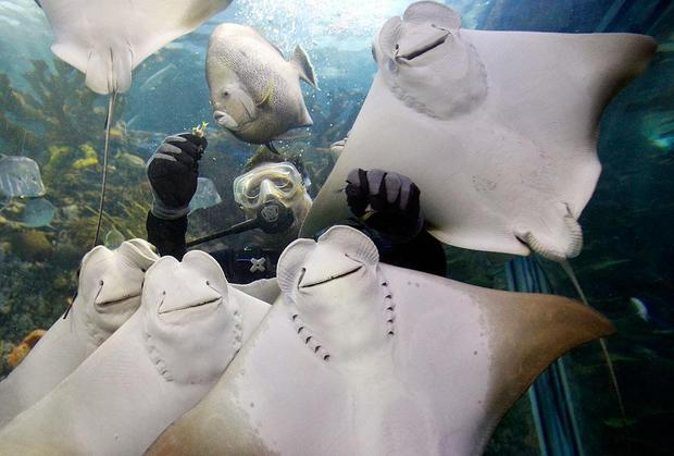 Happy diver with rays