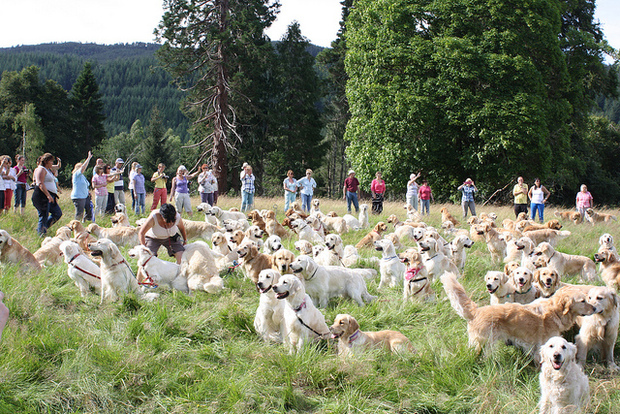The 2013 Golden Retreiver Festival in Invernes-shire