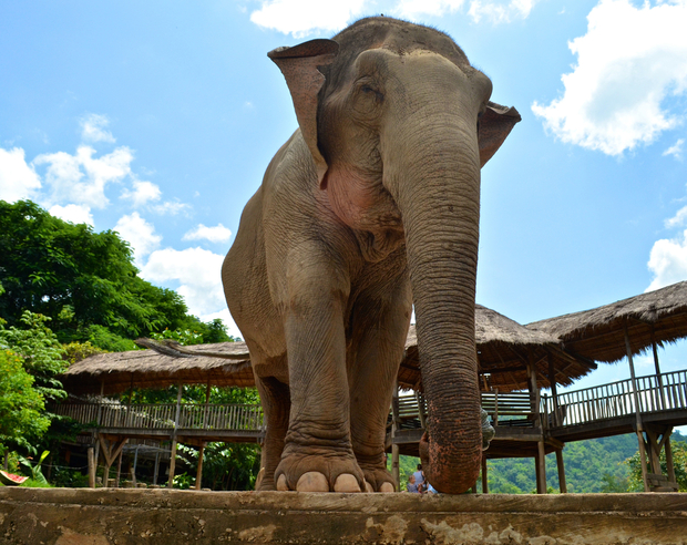 A rescued elephant at Elephant Nature park in Chiang Mai