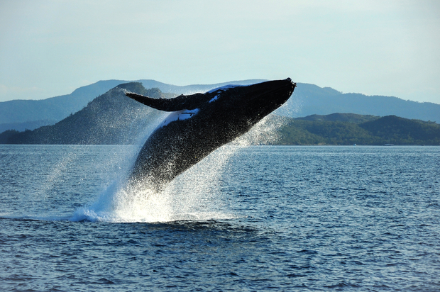A humpback whale breaches off the coast of Queensland,