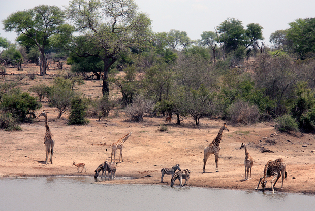 Zebras and giraffes lounge together at a Kruger waterhole