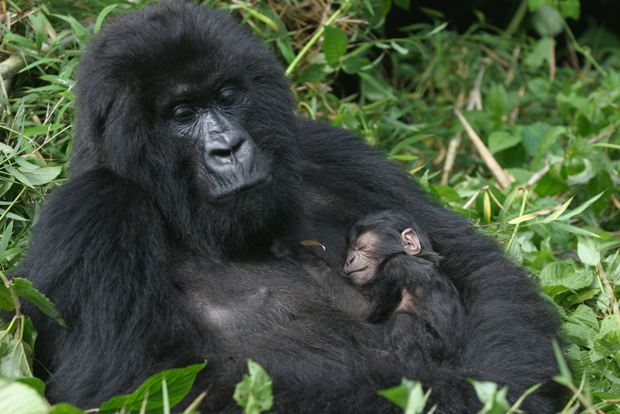 A mother and newborn baby gorilla in the Virunga Mountains