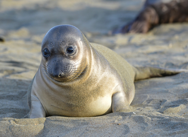 A baby seal during breeding season