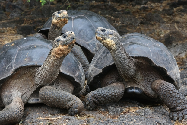 Two giant tortoises in the Galapagos Islands