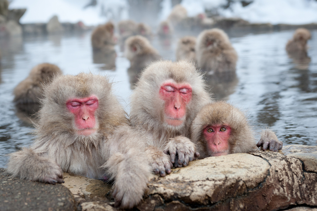 Japanese snow monkeys in a natural onsen (hot spring), in Jigokudani Park.