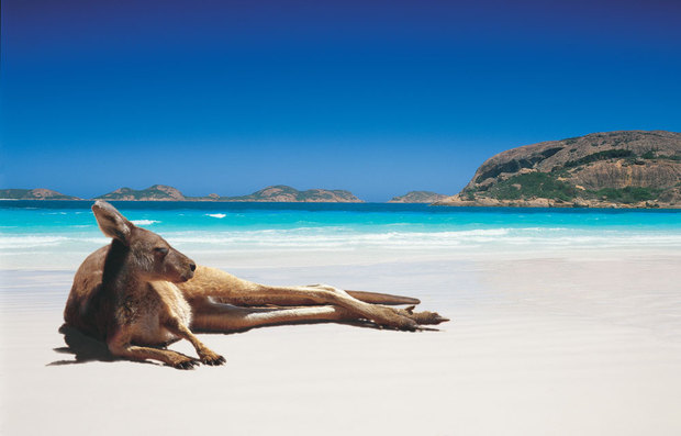 A western grey kangaroo chilling out in Lucky Bay