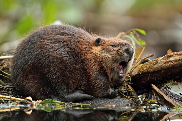 7 animals native to canada that aren t polar bears goodnet for Castor habitat