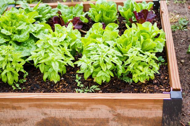 Vegetables In Community Garden