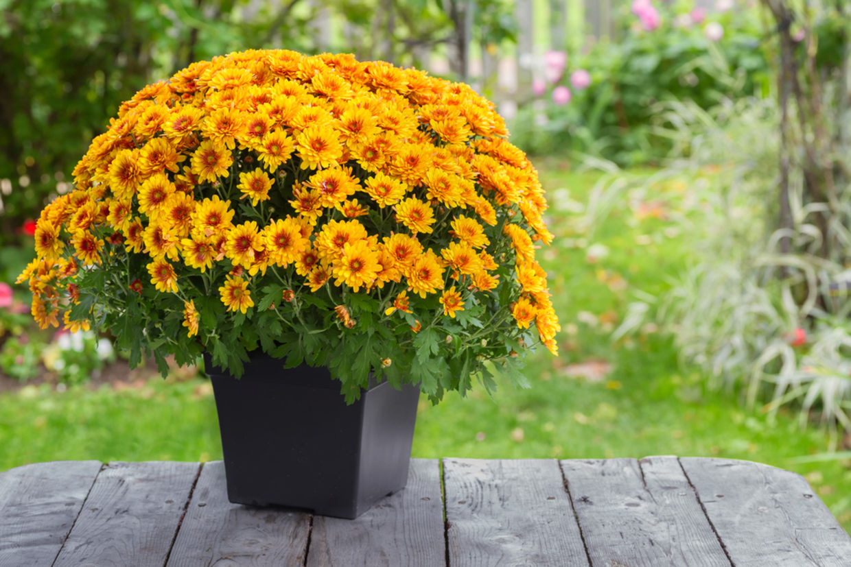 For an extra touch of color in your apartment pick the Garden Mum. (Shutterstock)