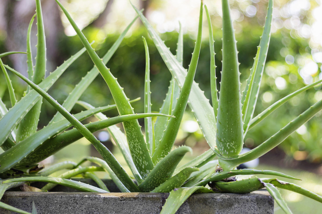 Aloe Vera is like your personal pharmacy in your home. (Shutterstock)