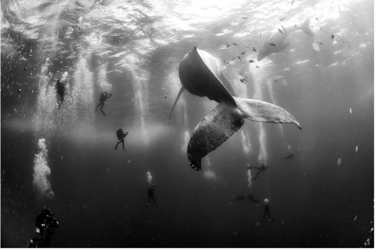 This shot of a humpback whale and her calf was captured as they swim in the Mexico's Revillagigedo Islands. (Anuar Patjane Floriuk)