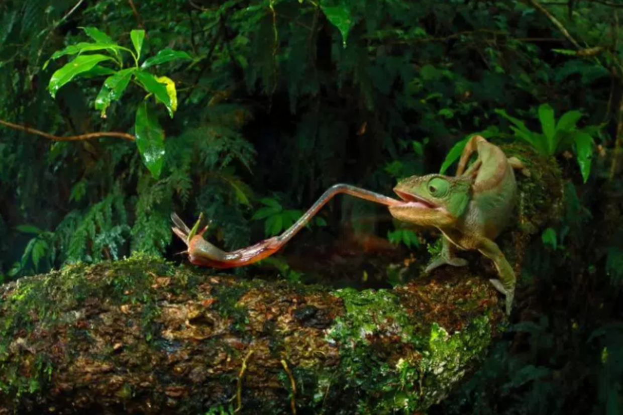 In Madagascar, a female Furcifer Ambrensis hunts for food with her tongue. (Christian Ziegler for National Geographic)