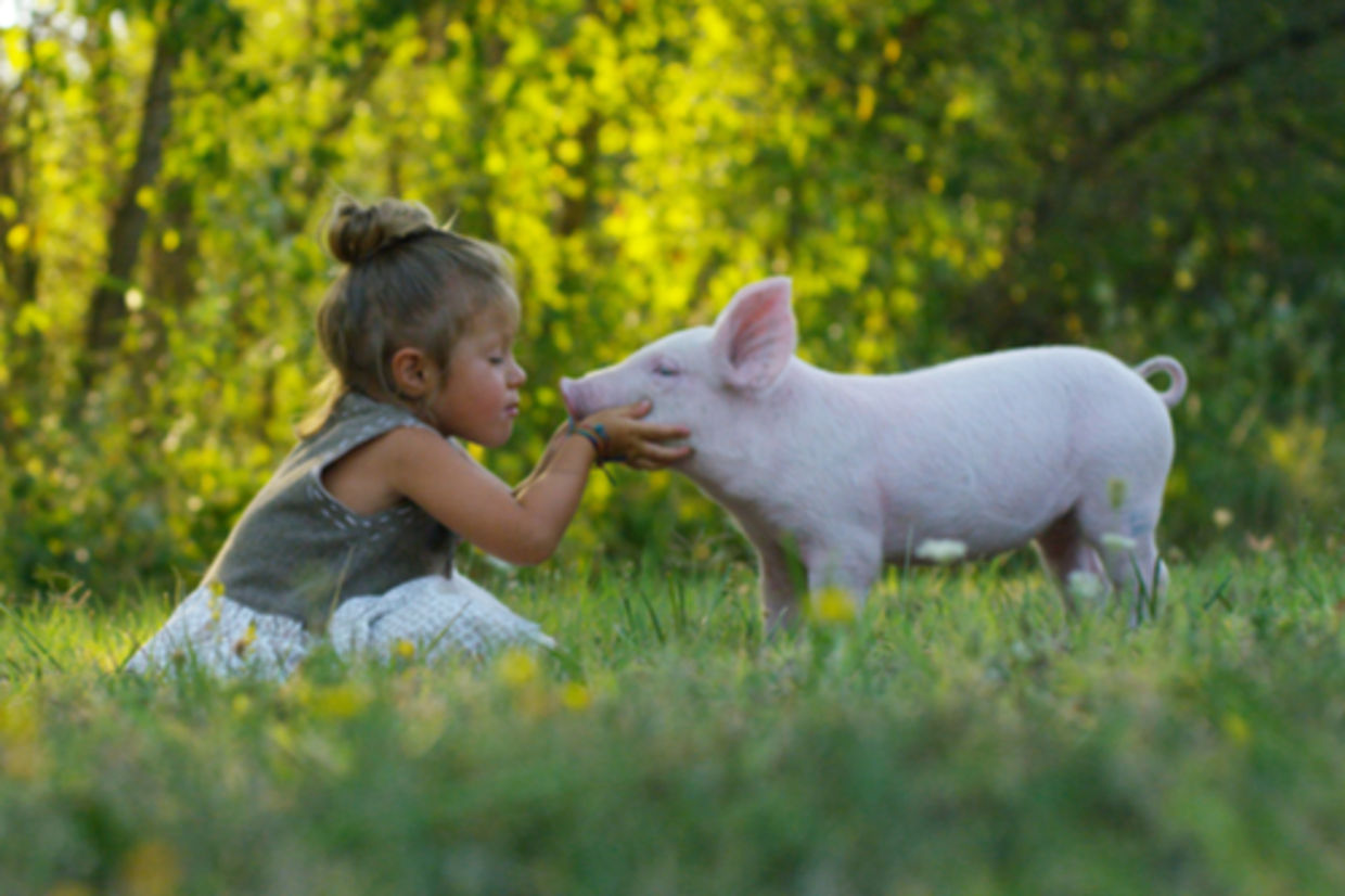 A little girl kisses a piglet on a meadow