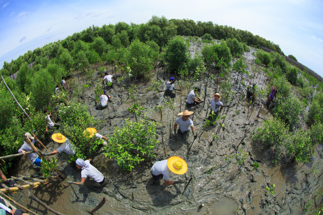Volunteers join together and plant young tree in deep mud in mangrove reforestation project on September 16, 2014 in Samutsakorn Thailand.