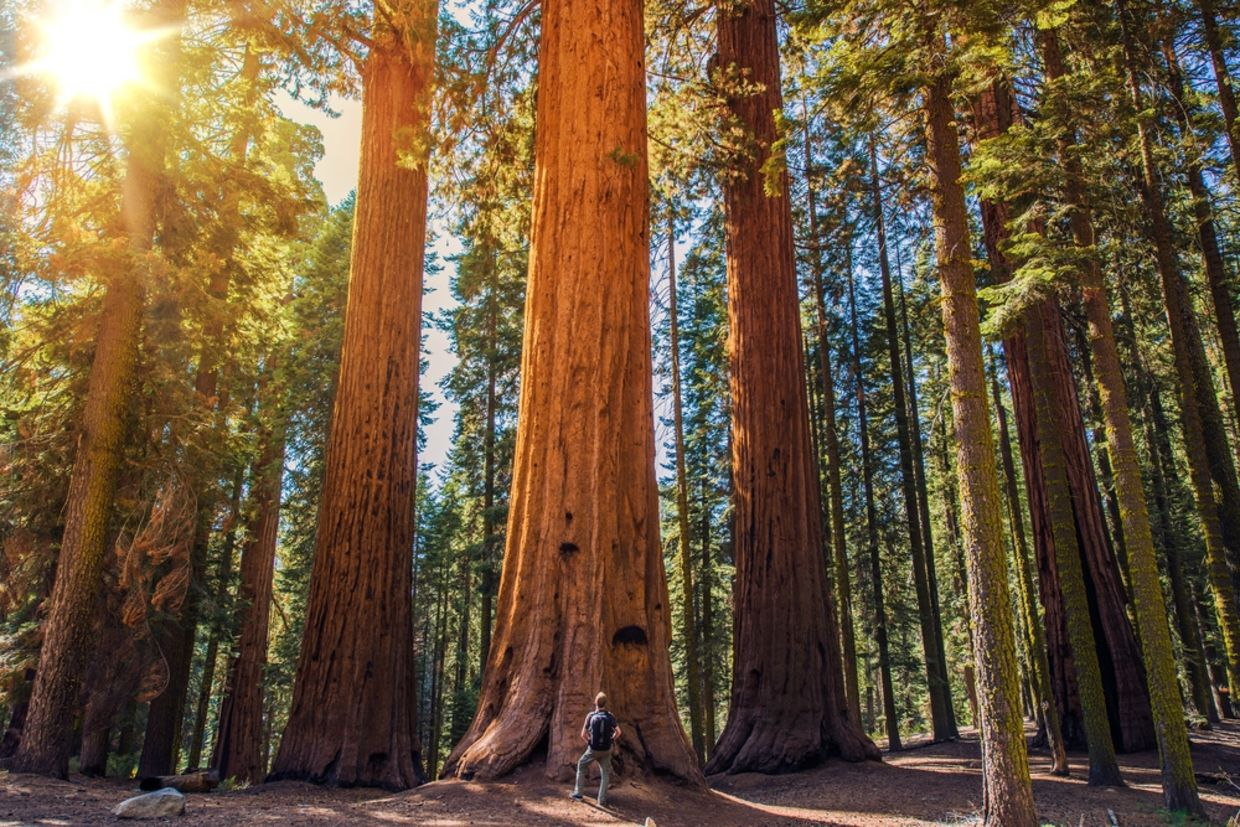 the oldest biggest redwood forest is now forever protected goodnet