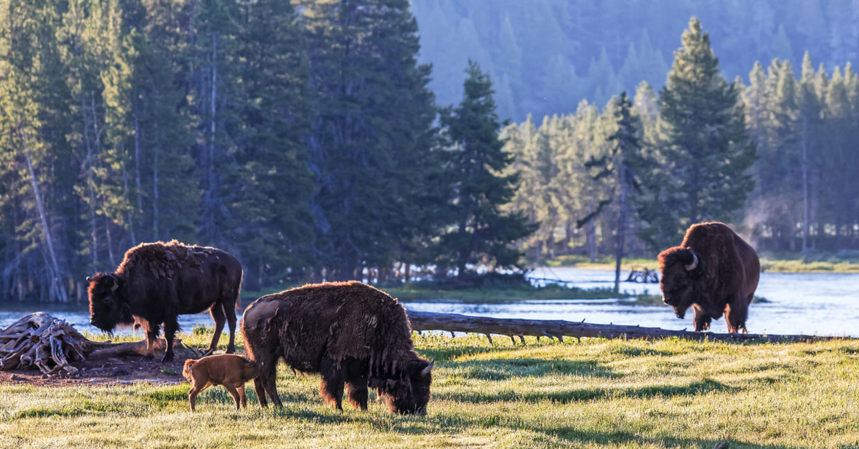 Wild American Bison waking up in Yellowstone National Park, Wyoming