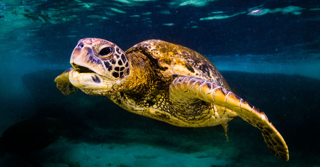 Giant Pacific Ocean Sea Turtles are Making a Comeback - Goodnet