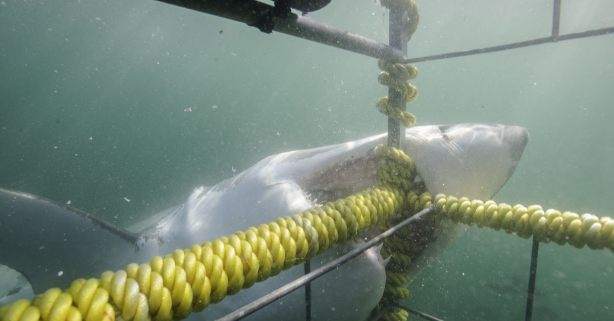 Great white shark biting the cage, False Bay, Simonstown, South Africa