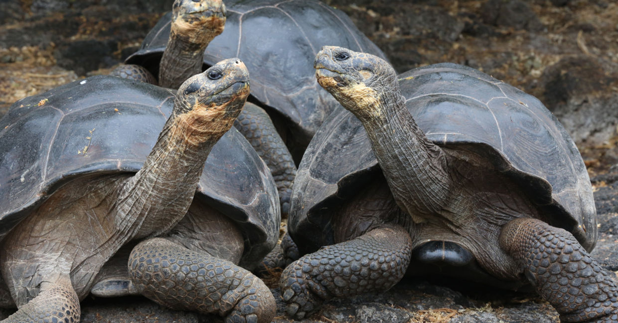 Three giant tortoises in the Galapagos Islands