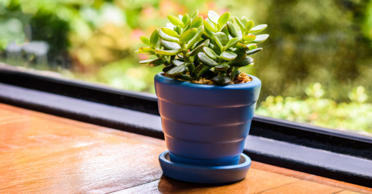 Don't have lots of space but want something green in your life? The Jade Plant is for you. (Shutterstock)