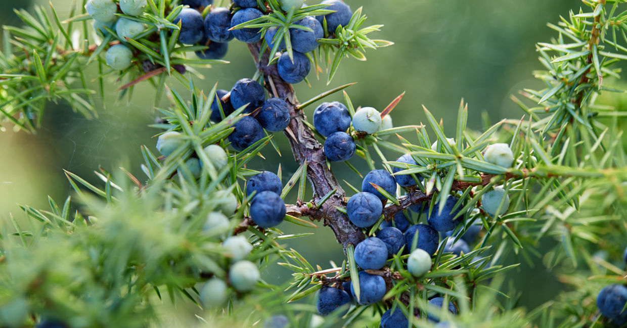 Juniper is one of the medicinal plants.