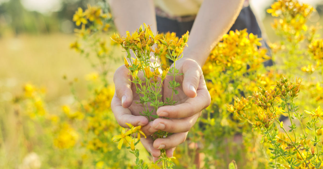 St John's wort is one of the medicinal herbs.