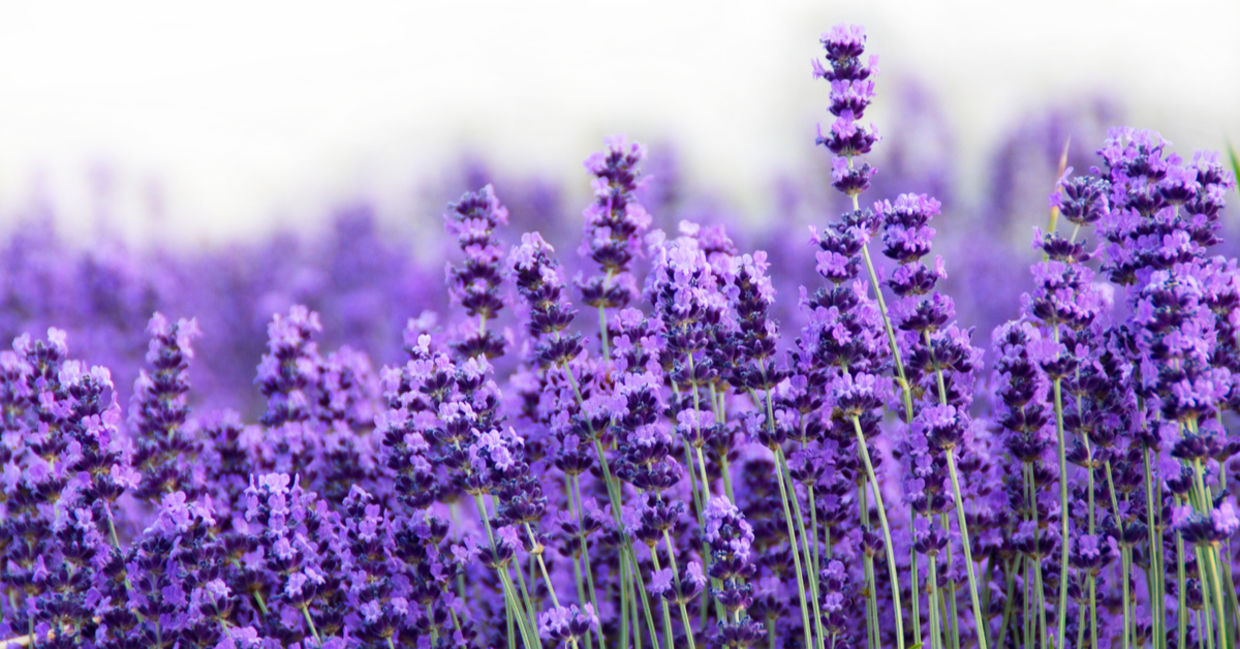 Lavender is one of the beautiful medicinal plants.